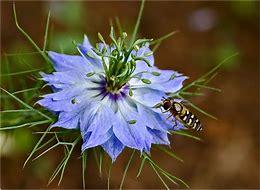 Olio di Nigella o di semi di Cumino Nero